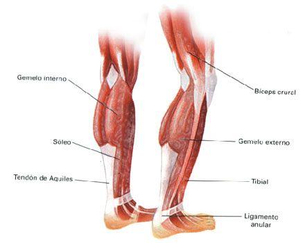 gemelo anatomia